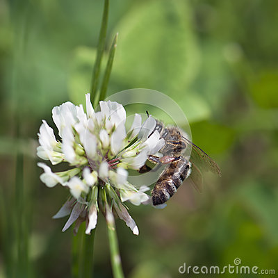 Bee pollinate a flower of white clover