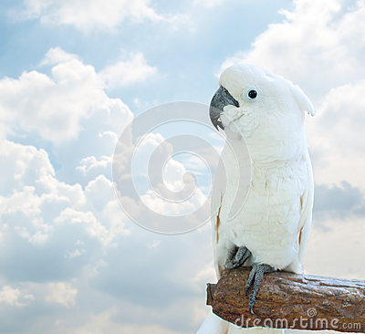 Free White Cockatoo Royalty Free Stock Images - 37261469