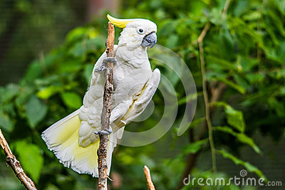 White Cockatoo in tree