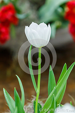 White color tulip flower