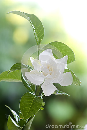 White common gardenia or cape jasmine flower