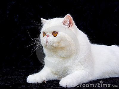 White copper eye exotic persian on black velvet