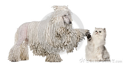 White Corded Standard Poodle