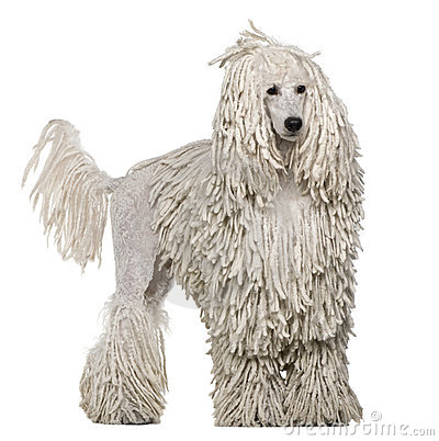 10 Facts That Make Poodles Interesting