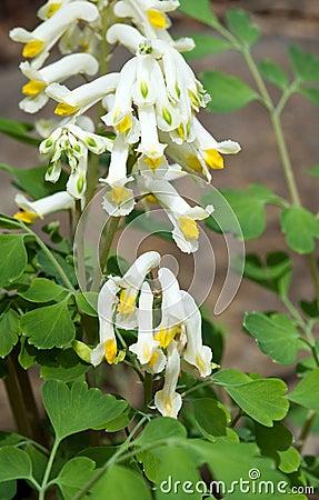 Free White Corydalis Flower Royalty Free Stock Photos - 7040458