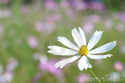 White Cosmos Flower Royalty Free Stock Images - Image: 17397279