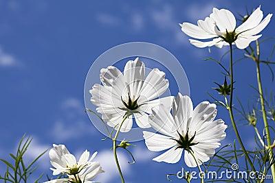 White Cosmos Flowers Blue Sky