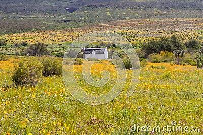 White cottage in field of orange daisies