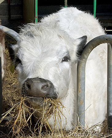 White Cow Chewing Hay