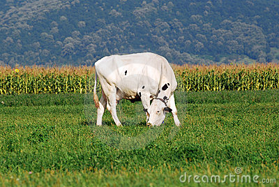 White Cow grazing on field
