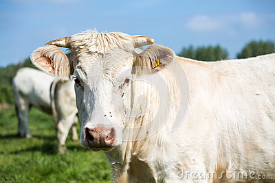 White cow portrait
