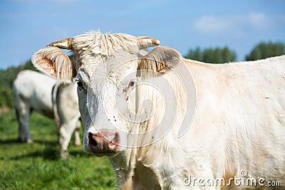 White cow portrait