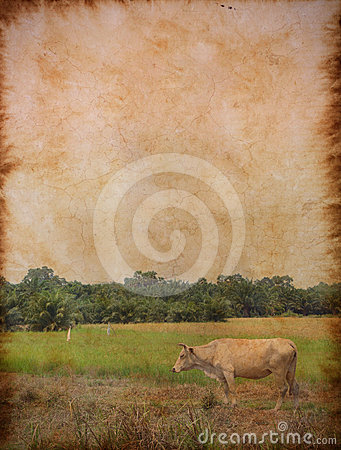 White cow standing with rice field