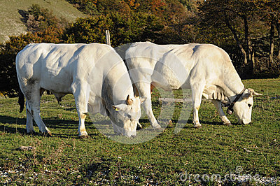 White cows grazing