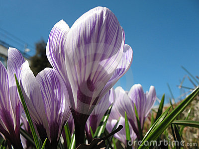 White crocus with purple veins