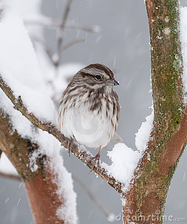 Free White-crowned Sparrow In Snow Stock Photo - 13283090