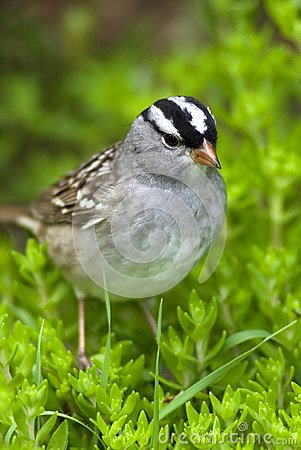 Free White-crowned Sparrow (Zonotrichia Leucophrys) Stock Photo - 25437150