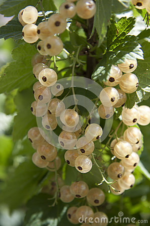 White currant berries close up