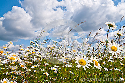 White daisies on cloudy blue sky