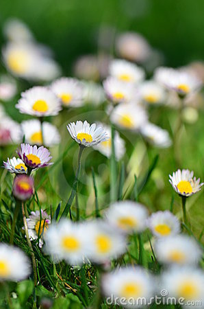 White daisies field in the spring