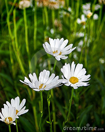 Free White Daisies Growing Wild Royalty Free Stock Images - 12543649