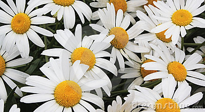 White daisies on a meadow