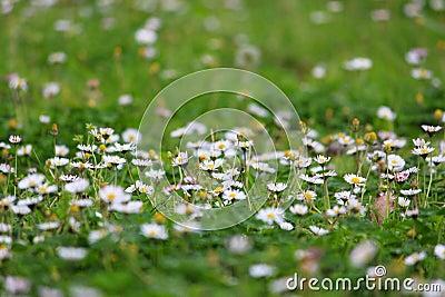 White daisies meadow background
