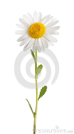 Free White Daisy Royalty Free Stock Images - 40798359