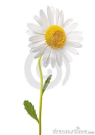 Free White Daisy Royalty Free Stock Photos - 47211348