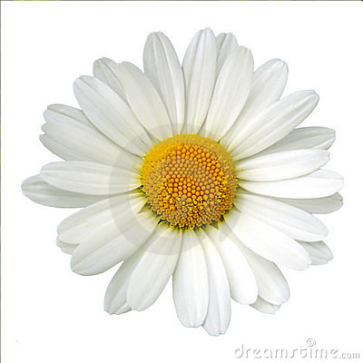 Free White Daisy Royalty Free Stock Photo - 5863325