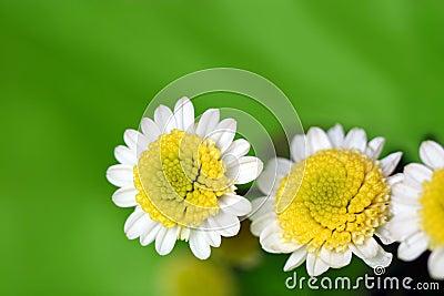 White daisy