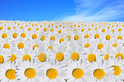 White daisy field