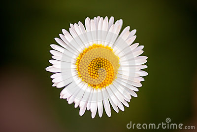 White daisy on green background