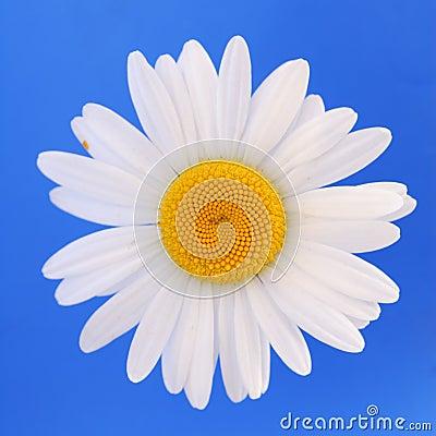 Free White Daisy Isolated Stock Photos - 2652113
