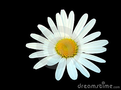 White daisy isolated on black background
