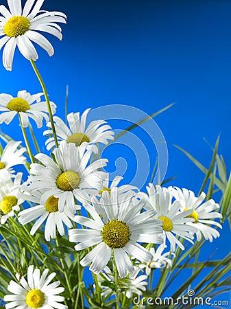 White Daisy Wheels