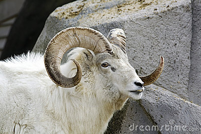 White Dall Sheep
