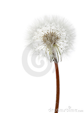 Free White Dandelion Stock Photography - 5574732