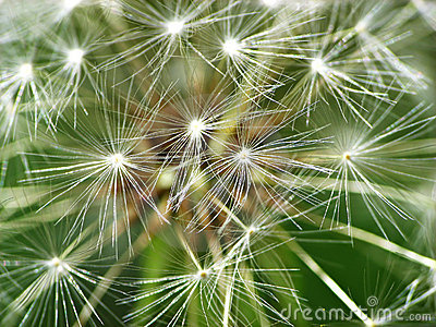 White Dandelion Close Up