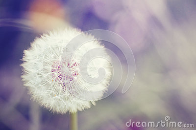 White dandelion vintage style