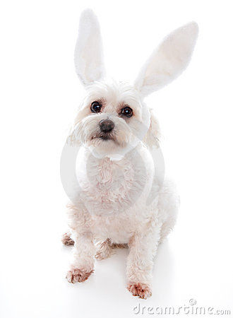 White dog with bunny ears