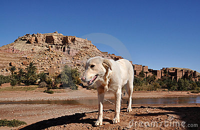 White dog and casbah Ait Benhaddou