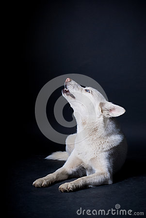 Free White Dog Earning Royalty Free Stock Photography - 37860237
