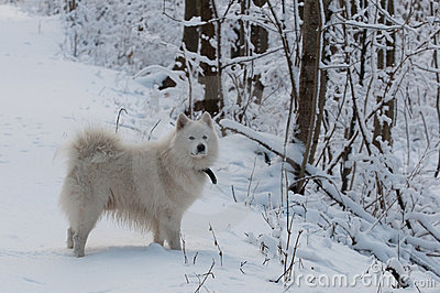 White dog on a forest trail