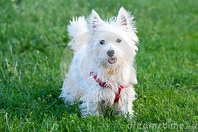 White dog on a green grass background