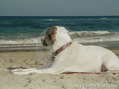 White dog pensive at the beach