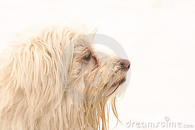White dog profile