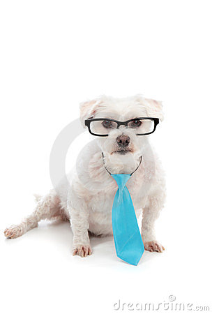 White dog with serious concentrated look