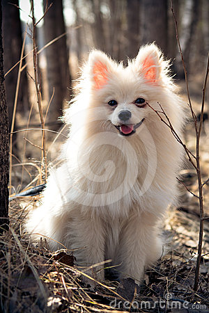 The white dog a spitz-dog sits in the wood