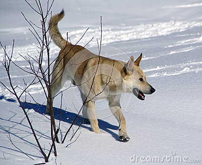 White dog trots through snowy forest